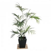 Kentia Palm - 5ft (Fire resistant)